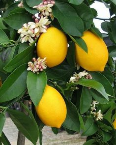 the lemon is a symbol of fidelity in love, and as such is often associated with the Virgin Mary.