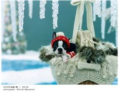 my dream. a christmas pup I Love Dogs, Puppy Love, Cute Dogs, Biking With Dog, Boston Terrier Love, Boston Terriers, Dog Life, Animal Photography, Best Dogs