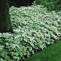 Variegated Snow-On-The-Mountain - for the front yard to make beds around the trees.