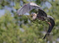 Galerie : scène printanière | Le mois d'avril approche et beaucoup d'oiseaux sont en train de construire leur nid. C'est le cas de ce Grand Héron (Ardea herodias) photographié par Peter Chromik à Willow Springs (Illinois, Etats-Unis) avec un Canon EOS 7D