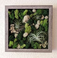 Framed Vertical Garden with Air Plants (Tillandsia), Reindeer Moss, and Lichen Measures 10x10 inches. Your choice of frame color - Black, Warm Maple, White, Natural, or Barnwood Grey. Choose up to 8 plants on this customized garden. Beautiful mosaic of preserved mosses in an open