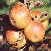 Botanical name: Malus domestica 'Cox's Orange Pippin'    Other names: Apple 'Cox's Orange Pippin' Toxic to dogs. Seeds contain cyanide. Varied toxic effects.