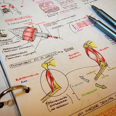 Muscle anatomy notes! #muscle #anatomy #medschool #notes #medicine #medstudent #studying #drawing #medicalstudent #muscles #geek #illustration #biology #biomechanics @staedtlermars