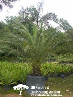P010903Phoenix Reclinata(Phoenix Palm)