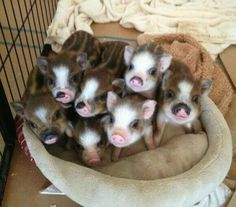 Welcome to Charming Mini Pigs! We are an AMPA Registered breeder of mini pigs and pet pigs. We have mini pigs for sale in a variety of sizes, colors, and breeds. Cute Baby Animals, Animals And Pets, Funny Animals, Farm Animals, Cute Baby Pigs, Teacup Pigs, Cute Piggies, Tier Fotos, Cute Creatures