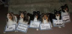 message I am a Sheltie not a Collie : )