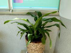 渡邊氏萬年青 < 萬年青屬 < 天門冬科 Nippon Lily, Sacred Lily, and Japanese Sacred Lily