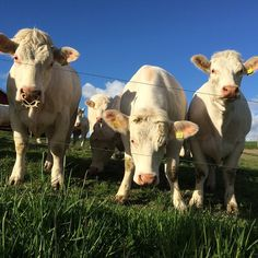 ᗰY ᑎEIGᕼᗷOᖇᕼOOᗪ #nabolag #naboer #cows #big #stor #kyr #blue #nofilter #ilovenorway #melhus #tronderbladet #mai #may #farm #bondegård #livetpålandet #tine #vår #sesons #picofday #lifeisgood #liveterherlig #dyreliv Norway, My Photos, Cow, Filters, My Love, Instagram Posts, Blue, Animals, Animales