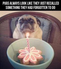 Pugs! From the blog: Blame it on the voices.