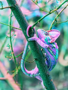 Stunningly Beautiful Chameleon