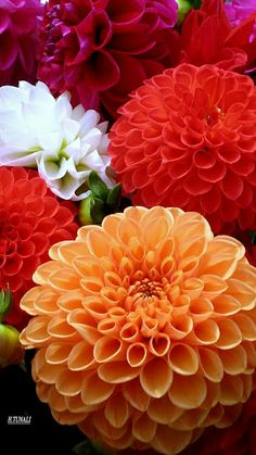 Dahlias have the most lovely petal shape!