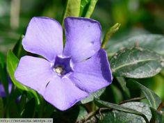 Barvínek Menší  (Vinca minor) Plants, Pictures, Plant, Planets