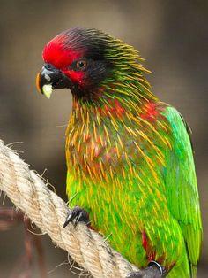 Lori chispeado (Chalcopsitta sintillata). Es un ave endémica de Nueva Guinea y las islas Aru.