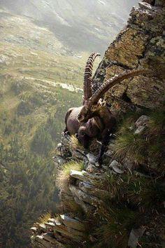 A Mongolian Ibex in its natural habitat.