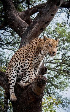 Funny Wildlife, Leopard in tree-full by alba1320 on Flickr....