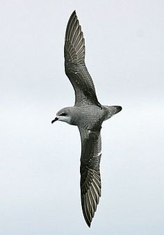 New Zealands Cook's Petrel