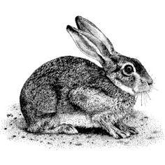 Brush Rabbit (Sylvilagus bachmani) Line Art Illustration - Polyvore