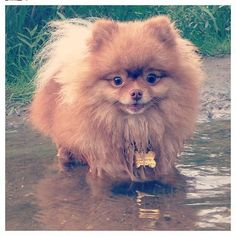 Marvelous Pomeranian Does Your Dog Measure Up and Does It Matter Characteristics. All About Pomeranian Does Your Dog Measure Up and Does It Matter Characteristics. Spitz Pomeranian, Pomeranian Facts, Pomeranians, Pomeranian Breeders, Mini Pomeranian, Baby Animals, Cute Animals, World Cutest Dog, Save A Dog