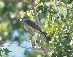 Common Name: WESTERN KINGBIRD,  Scientific Name: TYRANNUS VERTICALIS