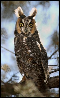 Long-Eared Owl, by Pat Gaines on Flickr