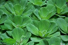 Water Lettuce FREE shipping in the U.S.only by Michiale on Etsy