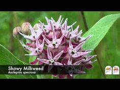No Milkweed, No Monarchs - YouTube