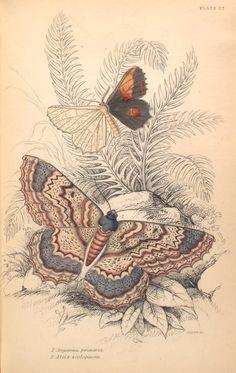 1. Angerona prunaria; 2. Alcis scolapacea.