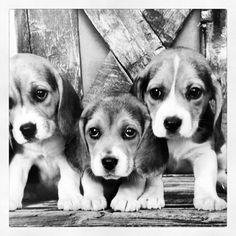 Beagle love! Beagles are my favorite!