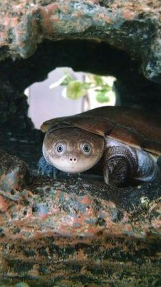 Atlas, African sideneck turtle.