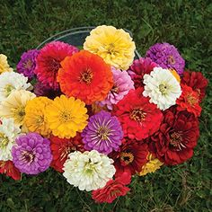Flower Zinnia Giant Dahlia Flowered Mix (Multi Color) 100 Seeds by David's Garden Seeds Dahlia Flower, Cactus Flower, Flower Seeds, Flower Pots, Cut Flower Garden, Flower Farm, Flower Gardening, Zinnia Elegans, Seed Packaging
