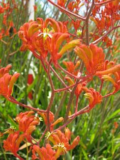 Anigozanthos 'orange cross' A great drought tolerant, hummingbird loving and beautiful blooming perennial.