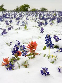 It happens! Snow in Texas, field of bluebonnets and Indian Paintbrushes...Spring time!!