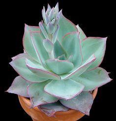 Those colors are divine~ Echeveria subrigida Succulents In Containers, Cacti And Succulents, Planting Succulents, Planting Flowers, Cactus Planta, Cactus Y Suculentas, Echeveria, Cool Plants, Air Plants