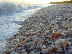 """Seashells Sanibel beach~its like this!! Plenty of shells for the picking!  You can stand in one place and pick up shell after shell. Then when you get up you have the """"Sanible Stoop""""."""
