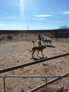 Herding in New Mexico! #herding #newMexico #lascruces #malinois  www.thetakepen.com