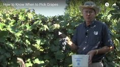 How to Know When to Pick Grapes