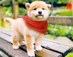 Cute Shiba Inu Puppy wearing a little red scarf.