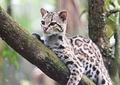 Image result for margay in a tree