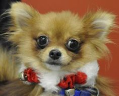 If you are looking for a special girl to join your household this holiday come down and meet Sable! This wonderful girl is just under a year in age an is a purebred Pomeranian looking for her forever home. Sable was surrendered to Homeward Pet so...