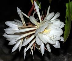 Night Blooming Cereus only open after midnight-for one night only- but are worth staying up for.  Beautiful like water lilies & so fragrant.
