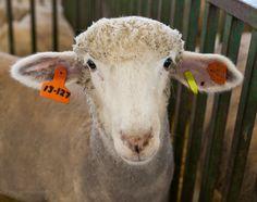 Cute sheep from Iowa State Fair 2013