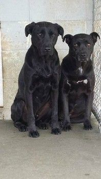 Two years at Georgia shelter: Two bonded retrievers watch as others leave