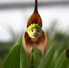 """La vie est belle chez Petit Singe Vert : Orchidée """"dracula benedictii"""""""