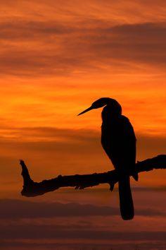 African Darter (Anhinga rufa ) captured at sunrise at Lake Panic in Kruger National Park.   This bird, sometimes called the Snakebird, is a water bird of  sub-Saharan Africa