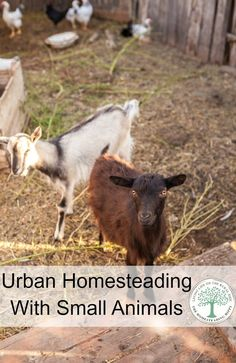 Backyard Urban Homesteading With Small Farm Animals Can you add small animals to your urban homestead? But, before you do, here are some things you really need to consider. The Homesteading Hippy Backyard Poultry, Backyard Farming, Chickens Backyard, Raising Goats, Raising Chickens, Raising Ducks, Homestead Farm, Homestead Survival, Homestead Living