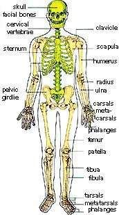 The skeleton is a real engineering miracle. Description from evidencesofcreation.com. I searched for this on bing.com/images