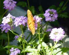 Florida Butterfly Nectar Plants - Vervain