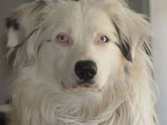 Australian Shepherd Double Merle/ Lethal White. Looks kind of like Rocky. But Rocky has bad eyes.