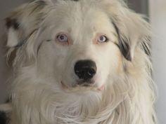 Australian Shepherd Double Merle/ Lethal White. Looks kind of like Rocky. But Rocky has bad eyes.