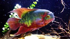 Male or female? About and 2 years old or more --- South American Cichlids, Cichlid Fish, Tropical Fish Aquarium, Aquarium Setup, Cool Fish, Angel Fish, Beautiful Fish, Freshwater Aquarium, Sea Creatures